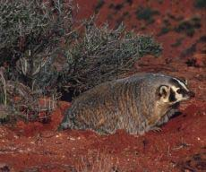 Photograph of a badger digging a hole.