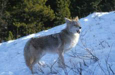 Photograph of a coyote.