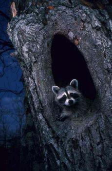 Photograph of a raccoon in a hollow.