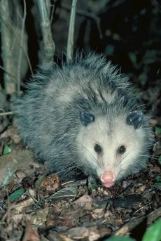 Photograph of an opossum.