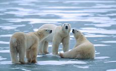 Photograph of a pack of polar bears.