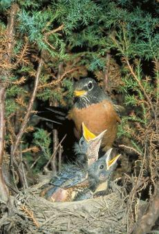 Photograph of robins in a nest.