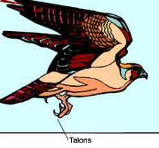 Drawing of a bird with talons.