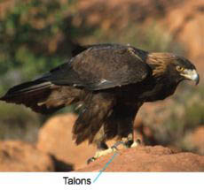 Photograph of an eagle with talons.