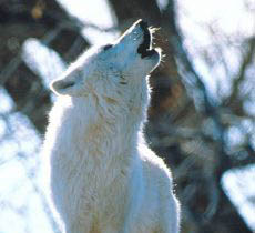 Photograph of a howling wolf.