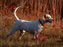 Photo of a hunting dog